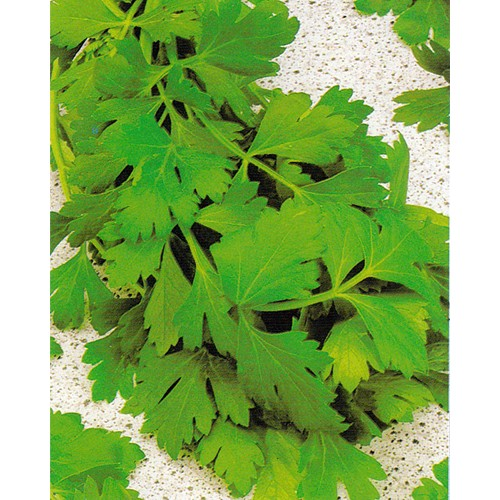 Parsley Seeds, Giant Of Naples
