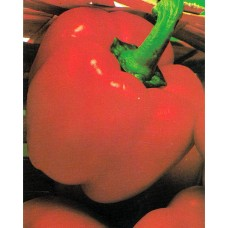 Pepper Seeds, Quadrato Rosso D' Asti