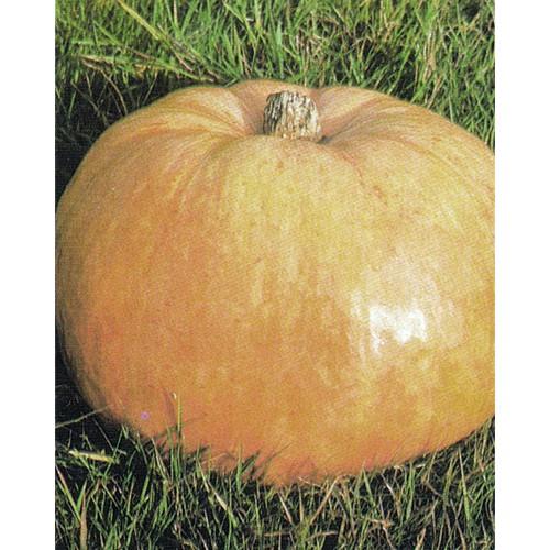 Pumpkin Seeds, Quintale a Seme Giallo