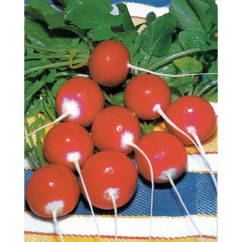 Radish Seeds, Small White Tip (Bunny Tail)