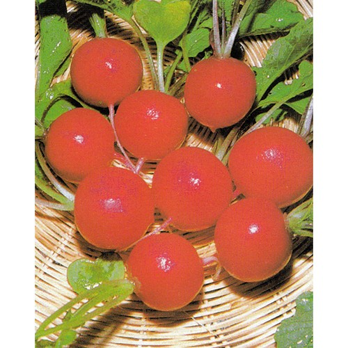 Radish Seeds, Cherry Belle