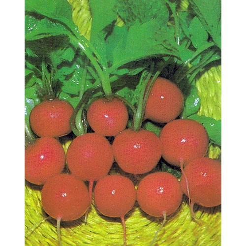 Radish Seeds, Saxa 2