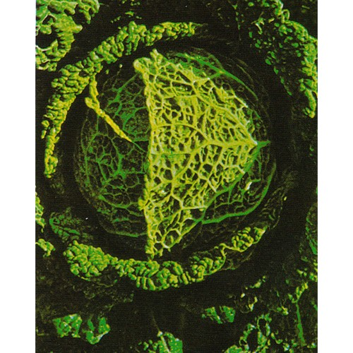 Savoy Cabbage Seeds, di Piacenza