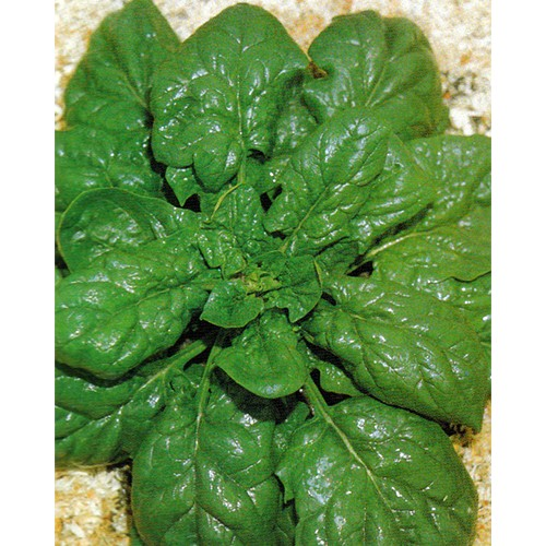 Spinach Seeds, Lorelay