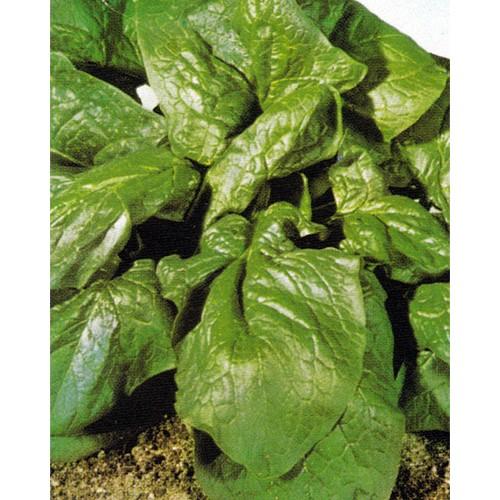 Spinach Seeds, Matador