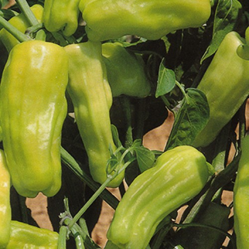 Pepper Seeds, Italian Pepperoncini