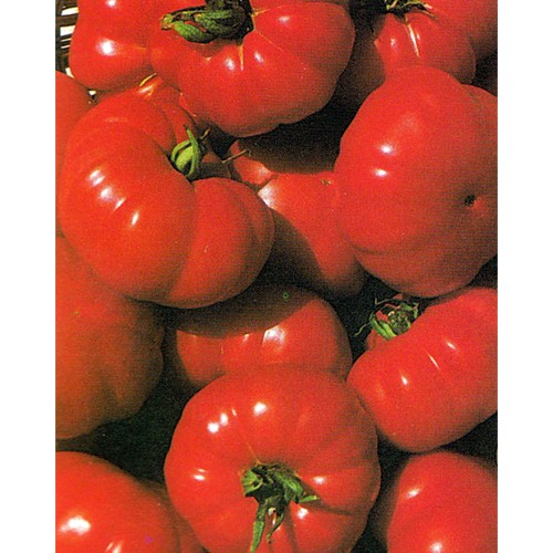 Tomato Seeds, Costoluto Fiorentino