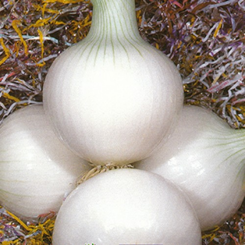Onion Seeds, Tonda Musona Bianca