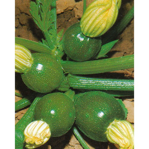 Zucchini Seeds, Tondo di Piacenza