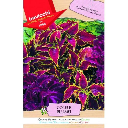 Coleus Seeds, Big Leaf Mix