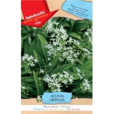 Ramsons or Bear's Garlic Seeds