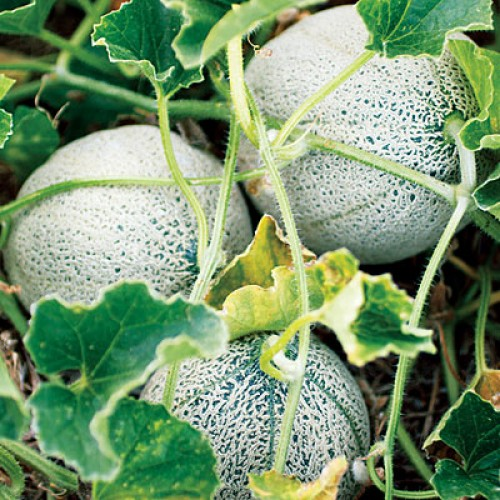 Melon Seeds, Green Nutmeg
